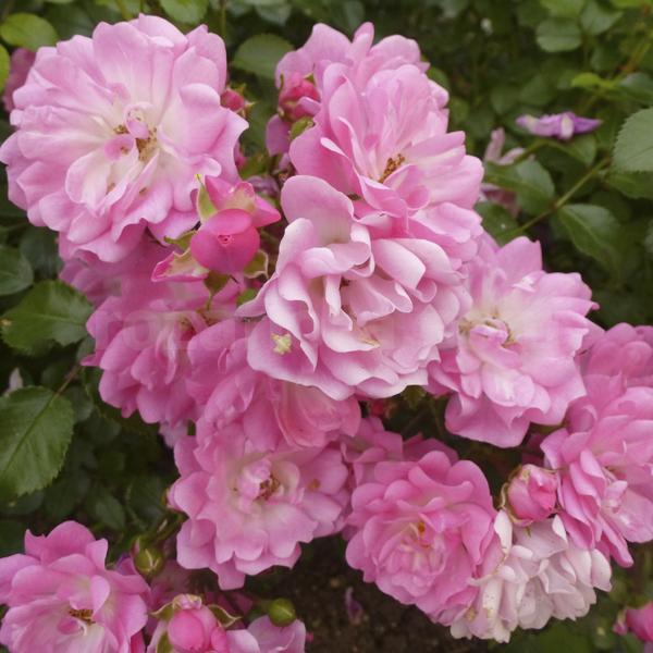 Роза сатина почвопокровная